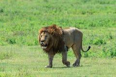 Un lion africain masculin dominant de la fierté de Ngorongoro image stock