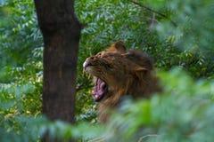 Un lion agressif dans la jungle Photos libres de droits