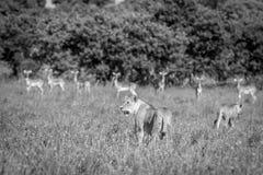 Un lion avec des impalas sur le fond Photo libre de droits