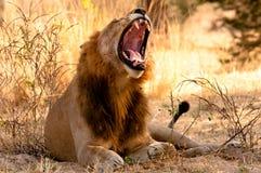 Un lion baîlle pendant le début de la matinée image stock