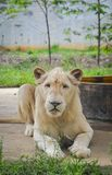 Un lion blanc au zoo image libre de droits
