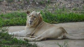Un lion blanc au zoo photo libre de droits