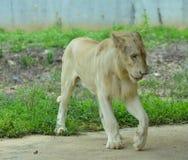 Un lion blanc au zoo photos stock