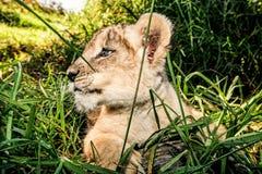 Un lion de bébé se reposant dans l'herbe Photos libres de droits