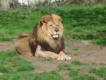 Un lion fier se reposant dans l'herbe Photo libre de droits