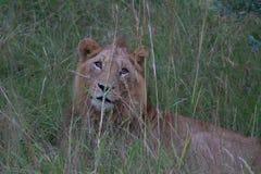 Un lion leurrant dans l'herbe Photographie stock libre de droits