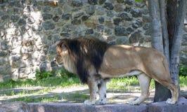 Un lion mâle Photos libres de droits