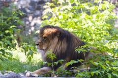 Un lion mâle Images libres de droits