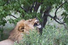 Un lion mâle baîllant Image stock