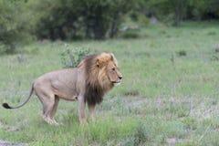 Un lion mâle pendant l'après-midi Image libre de droits