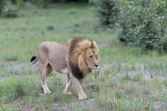 Un lion mâle pendant l'après-midi Images libres de droits