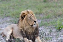Un lion mâle pendant l'après-midi Photographie stock libre de droits