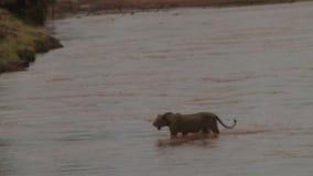 Un lion marche sur l'eau banque de vidéos