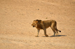 Un lion masculin plus ancien (Panthera Lion) Photo stock