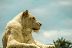 UN LION SE REPOSANT ET ATTENDANT photo stock