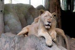 Un lion sur un rocheux au zoo photo libre de droits