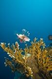 Un lionfish común (millas del Pterois) Foto de archivo
