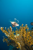 Un lionfish commun (milles de Pterois) Photo stock