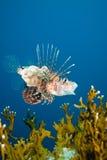 Un lionfish commun (milles de Pterois) Images libres de droits