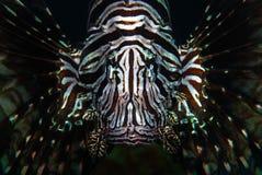 Un Lionfish rouge (volitans de Pterois) Photographie stock libre de droits