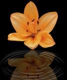 Un lirio anaranjado en un fondo negro Imagen de archivo libre de regalías
