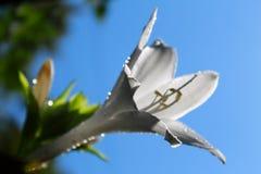 Un lirio blanco blando Mañana del verano imagenes de archivo
