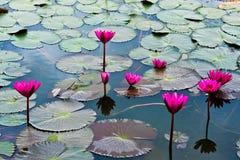 Un lirio de agua rosado Foto de archivo