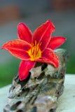 Un lirio rojo del jardín de flores Imagenes de archivo