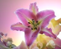 Un lirio rosado con un fondo brillante del rosa y del amarillo Fotografía de archivo