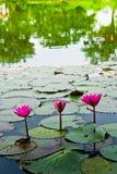 Un lis d'eau rose Photos stock