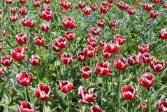 Un lit de fleur complètement des tulipes rouges de floraison sur une jambe élevée avec les feuilles vertes Photographie stock libre de droits