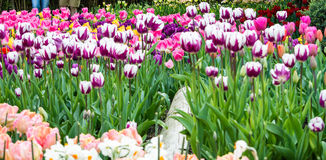 Un lit des tulipes Photographie stock