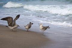 Un litigio di tre gabbiani sopra alimento sulla spiaggia Fotografia Stock