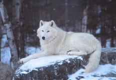 Un lobo ártico que descansa en la nieve Foto de archivo