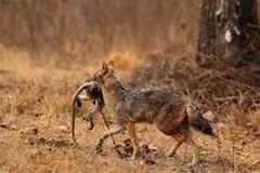 Un lobo con su presa Fotografía de archivo