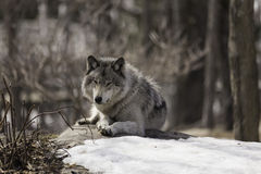 Un lobo de madera solitario imágenes de archivo libres de regalías