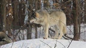 Un lobo de madera solitario en invierno
