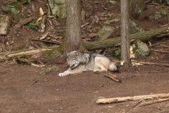 Un lobo de madera solitario en un bosque imagenes de archivo