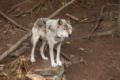 Un lobo de madera solitario en un bosque foto de archivo