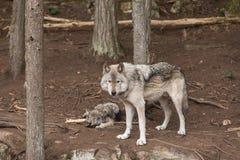 Un lobo de madera solitario en un bosque imágenes de archivo libres de regalías