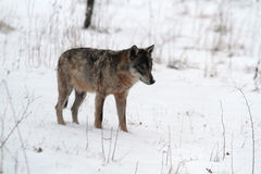 Un lobo en la nieve Fotos de archivo