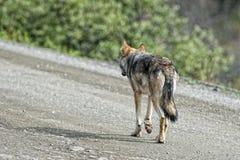 Un lobo gris que le mira Imágenes de archivo libres de regalías