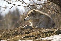 Un lobo gris solitario que se reclina sobre una colina Fotografía de archivo