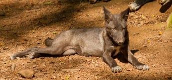 Un lobo joven Foto de archivo
