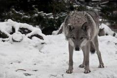 Un lobo mira directamente usted con su cabeza abajo del — la mirada de un lobo; una rueda de un carro campesino miente en la ni fotografía de archivo