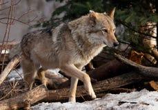 Un lobo sale de detr?s un ?rbol encendido por el lobo gris despredador sunPowerful en el bosque en primavera temprana imagen de archivo libre de regalías