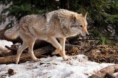 Un lobo sale de detr?s un ?rbol encendido por el lobo gris despredador sunPowerful en el bosque en primavera temprana fotos de archivo libres de regalías