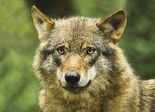 Un lobo salvaje Fotografía de archivo libre de regalías