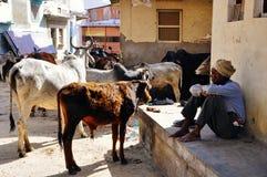 Un locale con le sue mucche in Pushkar, India Immagine Stock