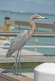 Un long héron rougeâtre à jambes se tient sur le dock, observant pour des poissons photo libre de droits